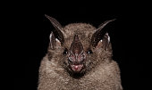 istock Seba's short-tailed bat 1212609515