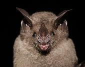 istock Seba's short-tailed bat 1212609602