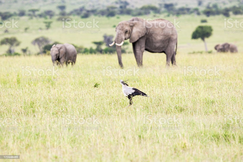 Secretary Bird and African Elephants royalty-free stock photo