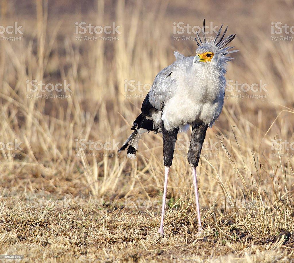 Secretary bird frontal stock photo