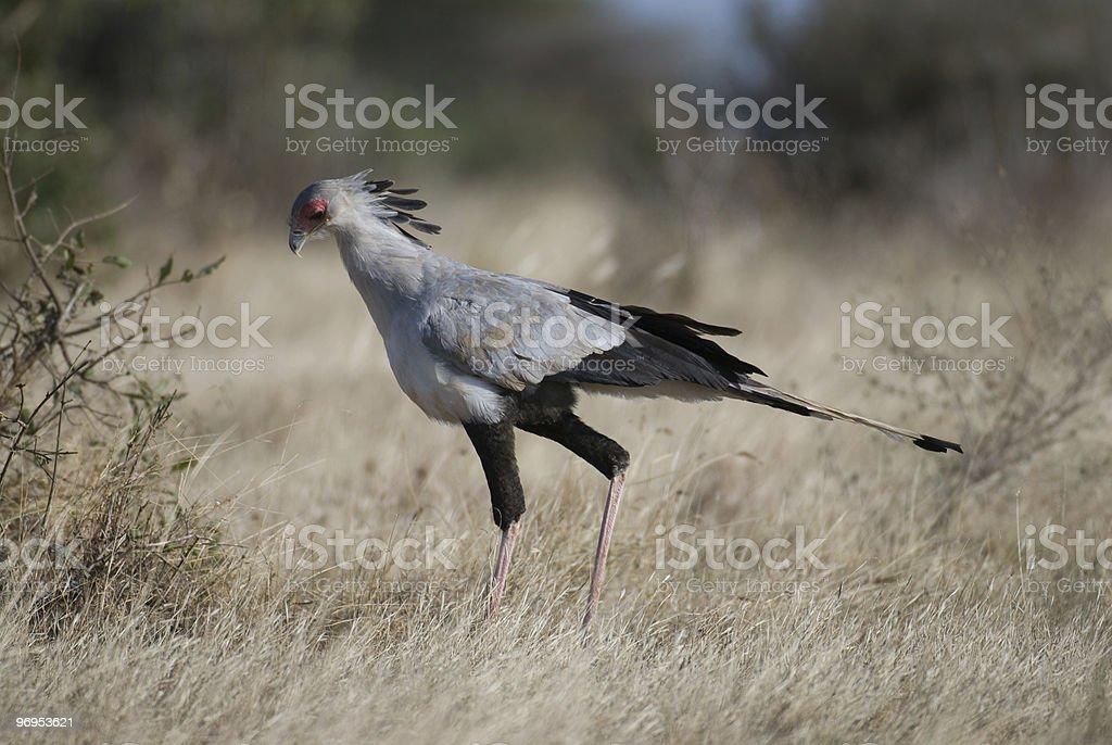 Secretary Bird (Sagittarius serpentarius) Hunting, East Tsavo, Kenya royalty-free stock photo