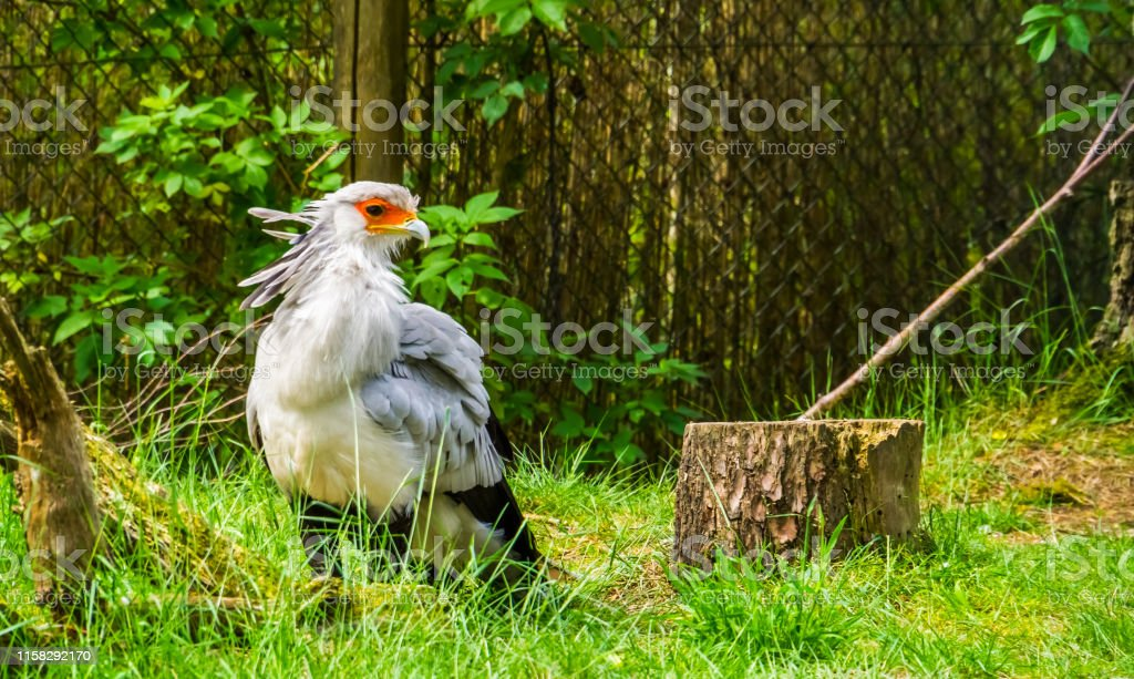secretary bird in closeup, bird of prey from Africa, vulnerable...