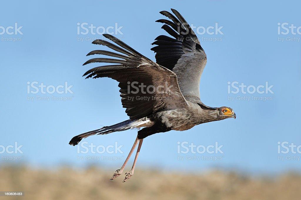 Secretary bird in flight royalty-free stock photo