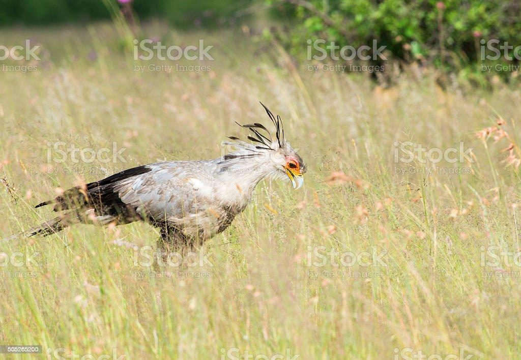 Secretary bird looking for snakes stock photo