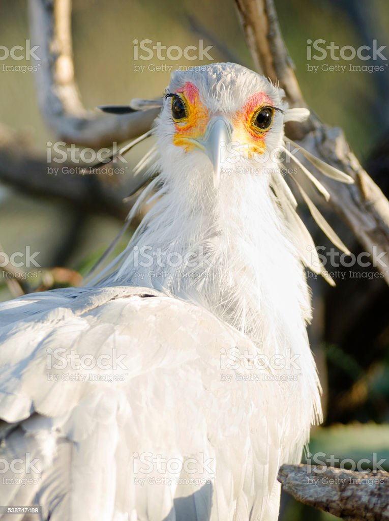 Large bird called Secretary looks back with the sun in his eye