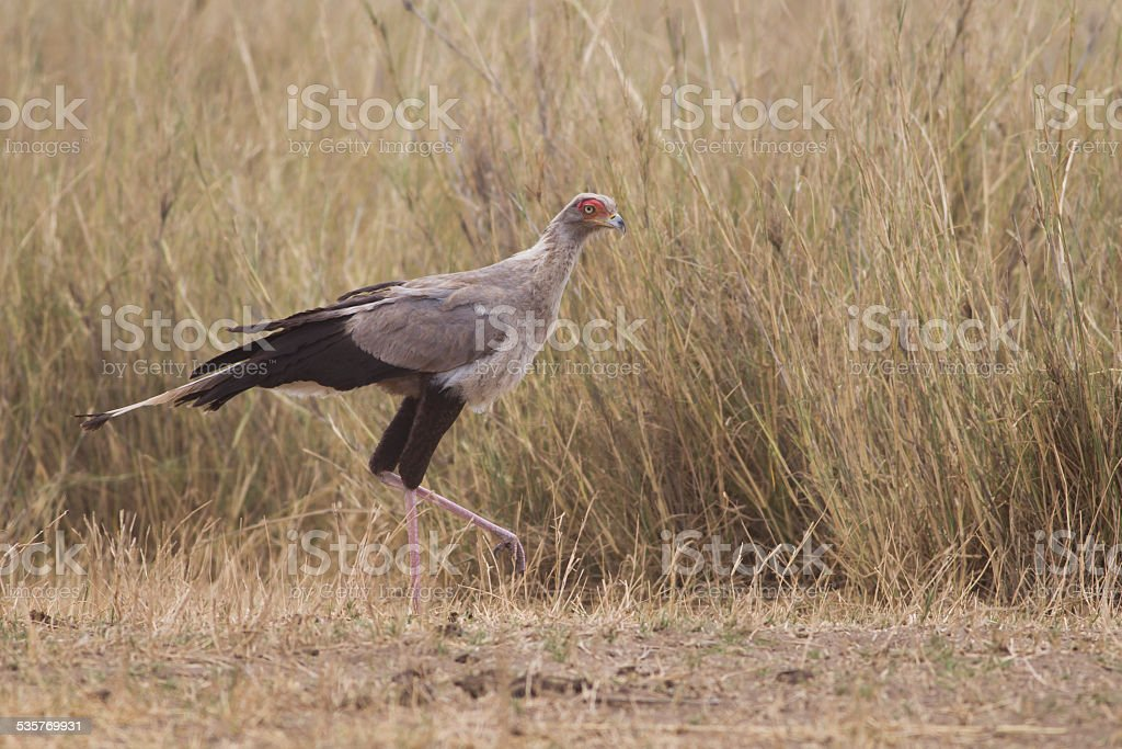 Secretary bird (Sagittarius serpentarius) stock photo
