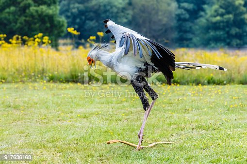 Secretary bird attacking a snake killing its prey.
