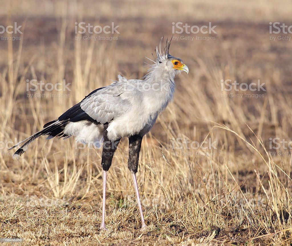 Secretary bird posing stock photo