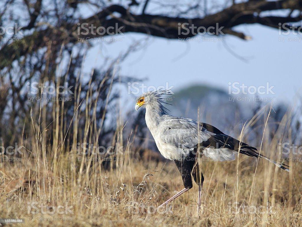 Secretary bird walking near bushes stock photo