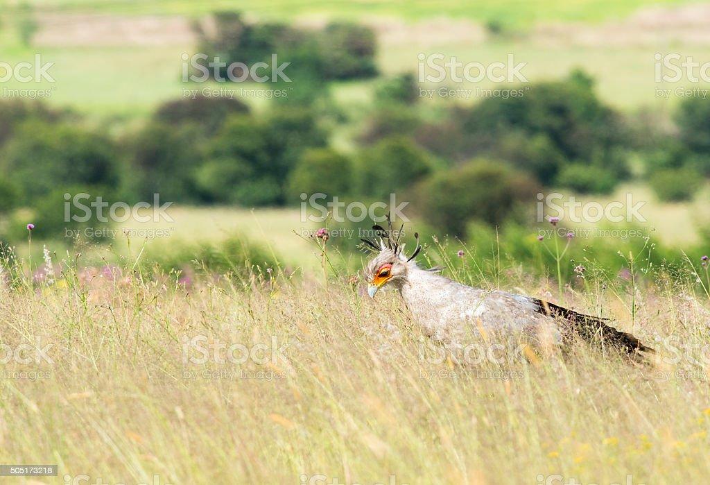 Secretary bird with bush background stock photo