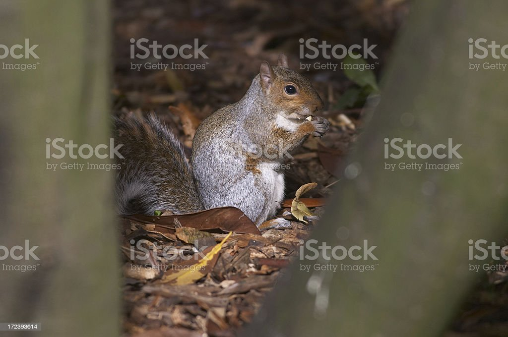 Secretive grey squirrel Sciurus carolinensis eating royalty-free stock photo