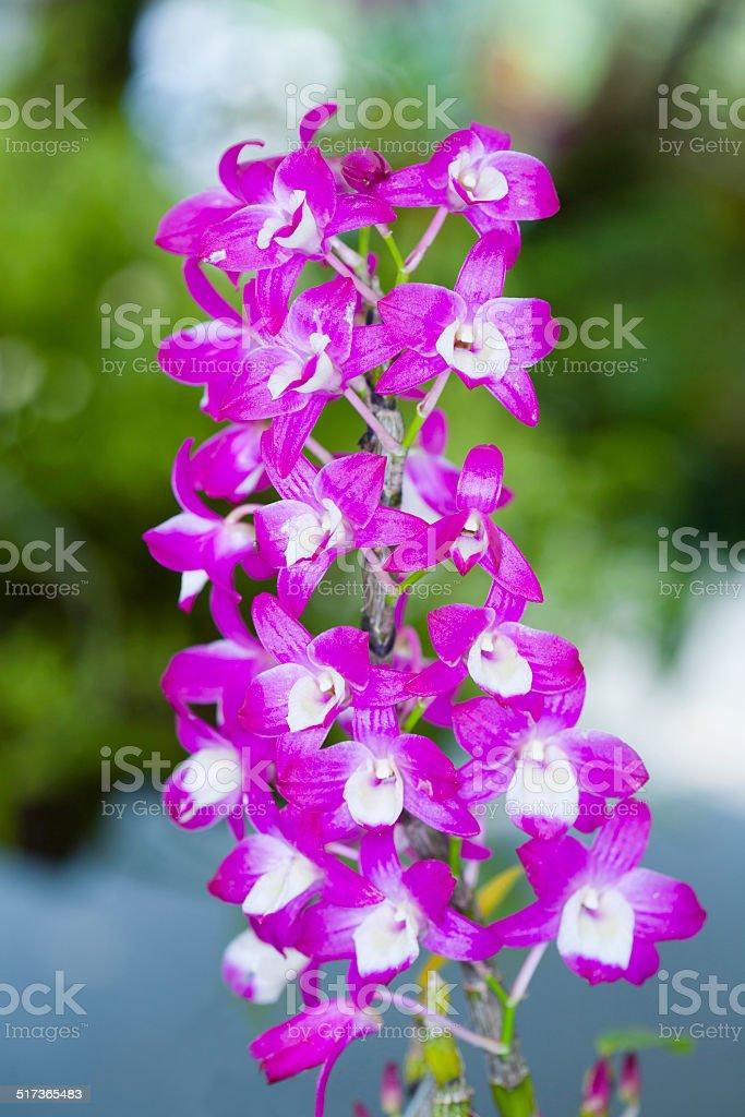 Section Dendrobium Nobile. stock photo
