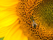 Section of a common sunflower with a honeybee, closeup