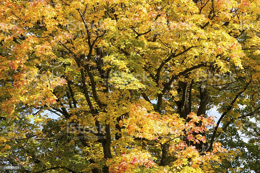 Section of a tree with autumn leaves stock photo