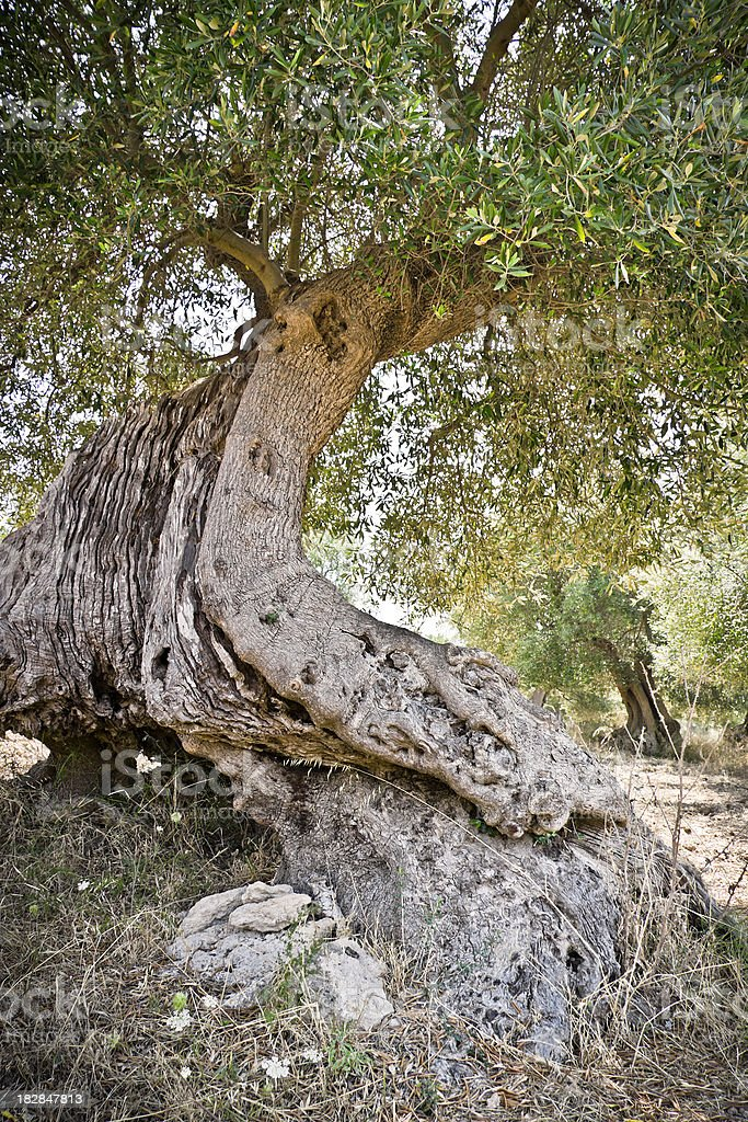 Secular Olive Tree in Apulia, Italy stock photo