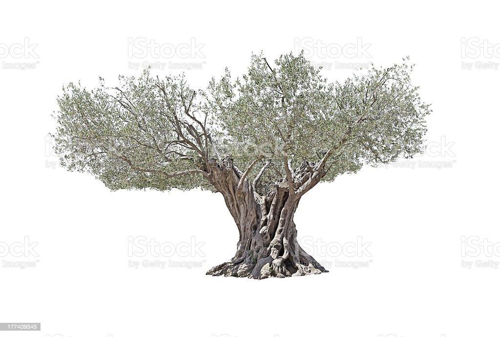 Secular Olive Tree isolated on white background. stock photo