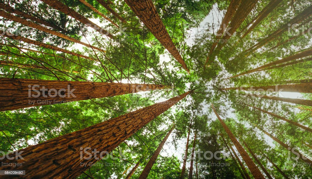 Secuoia Forest stock photo
