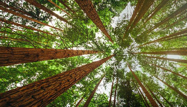Secuoia bosque - foto de stock