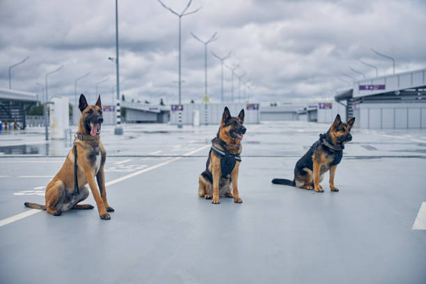 Security police dogs or detection dogs sitting at airport stock photo