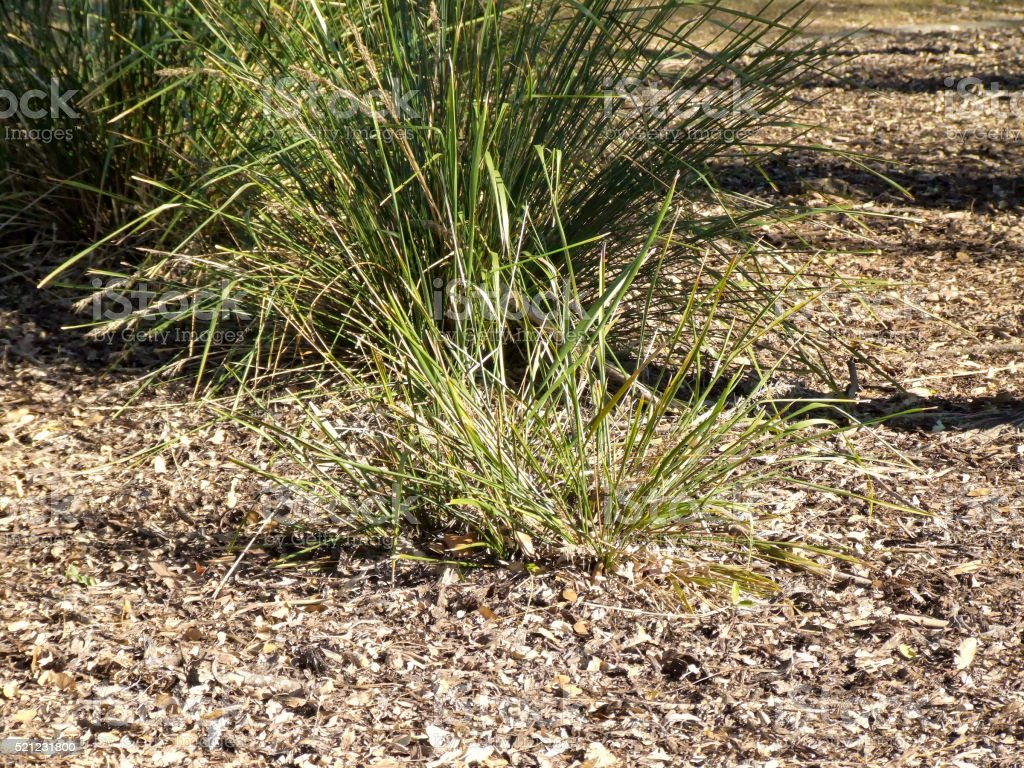 Sedge Grass In Garden With Wood Chip Mulch Stock Photo & More ...