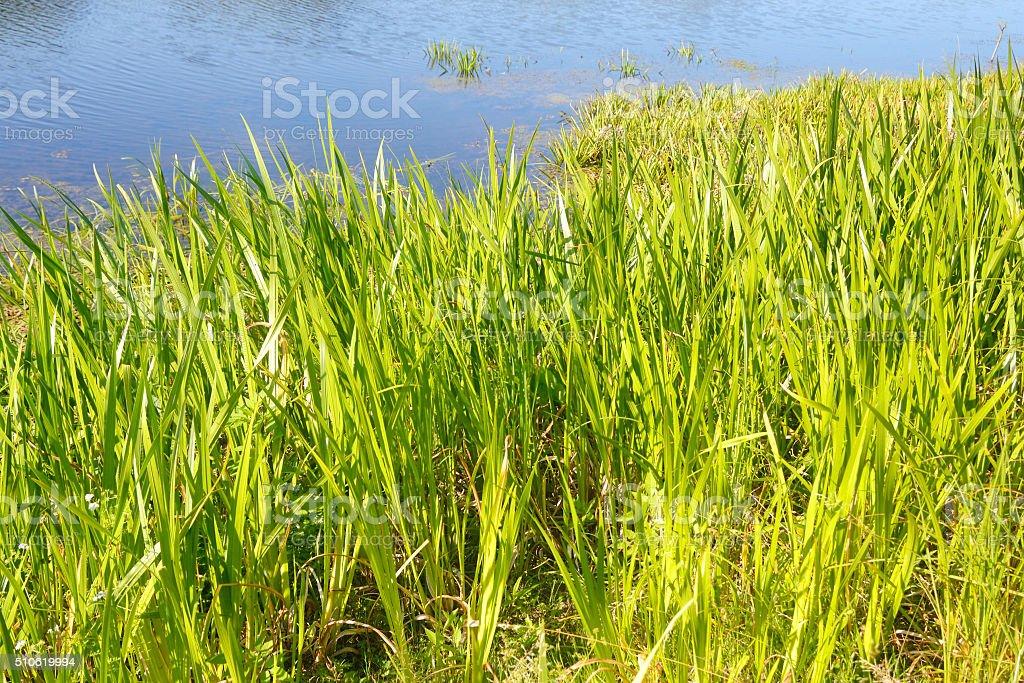 Sedge green background. stock photo
