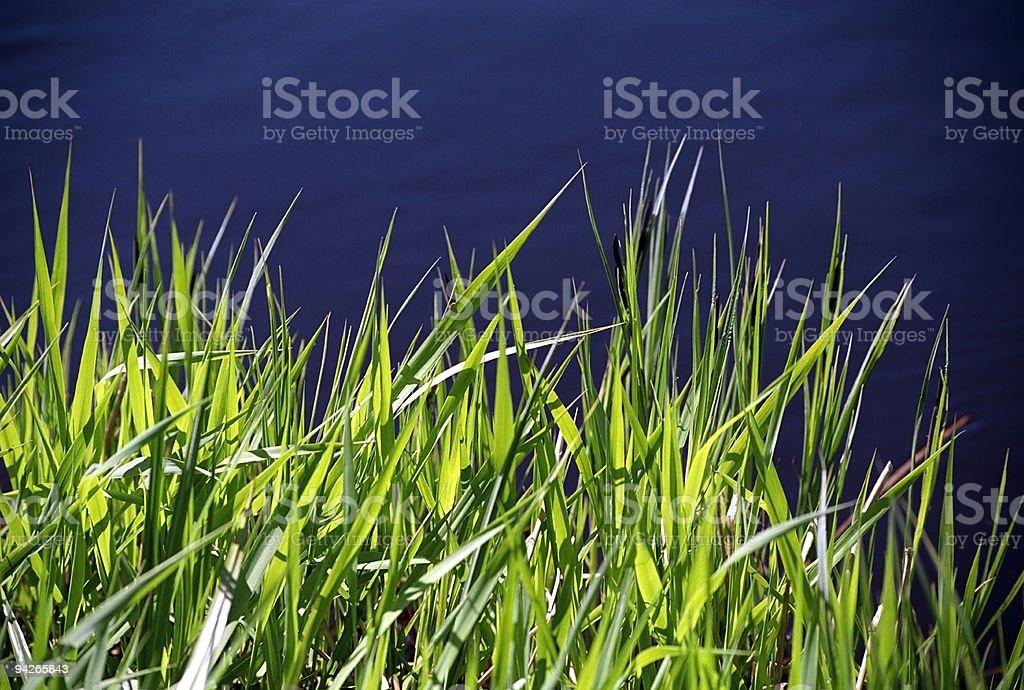 Sedge Plants on the Riverbank stock photo