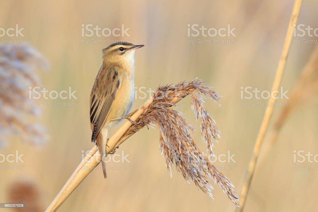Sedge Warbler, Acrocephalus schoenobaenus, bird singing perched in reeds stock photo