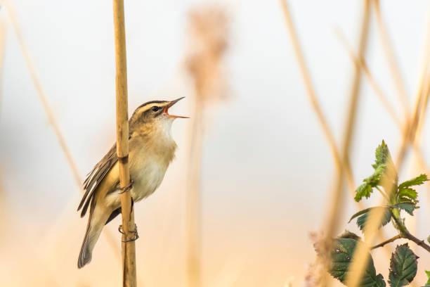 Paruline de joncs Acrocephalus schoenobaenus, chant perché dans un lit de roseaux - Photo