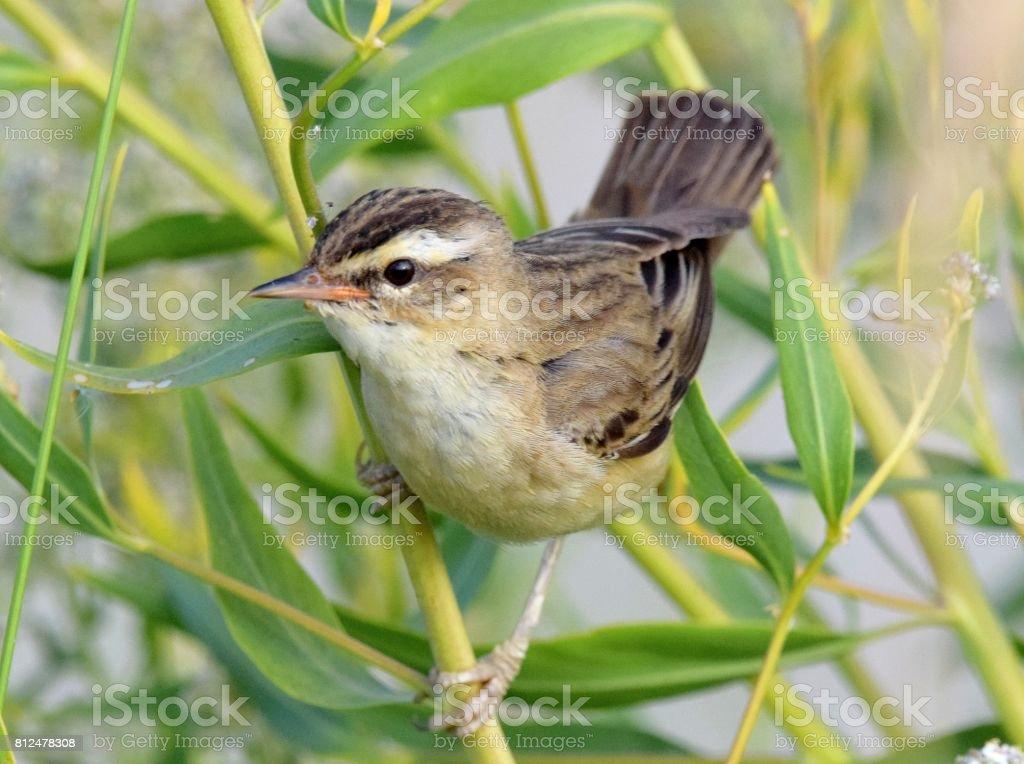 sedge warbler bird in reeds close up stock photo