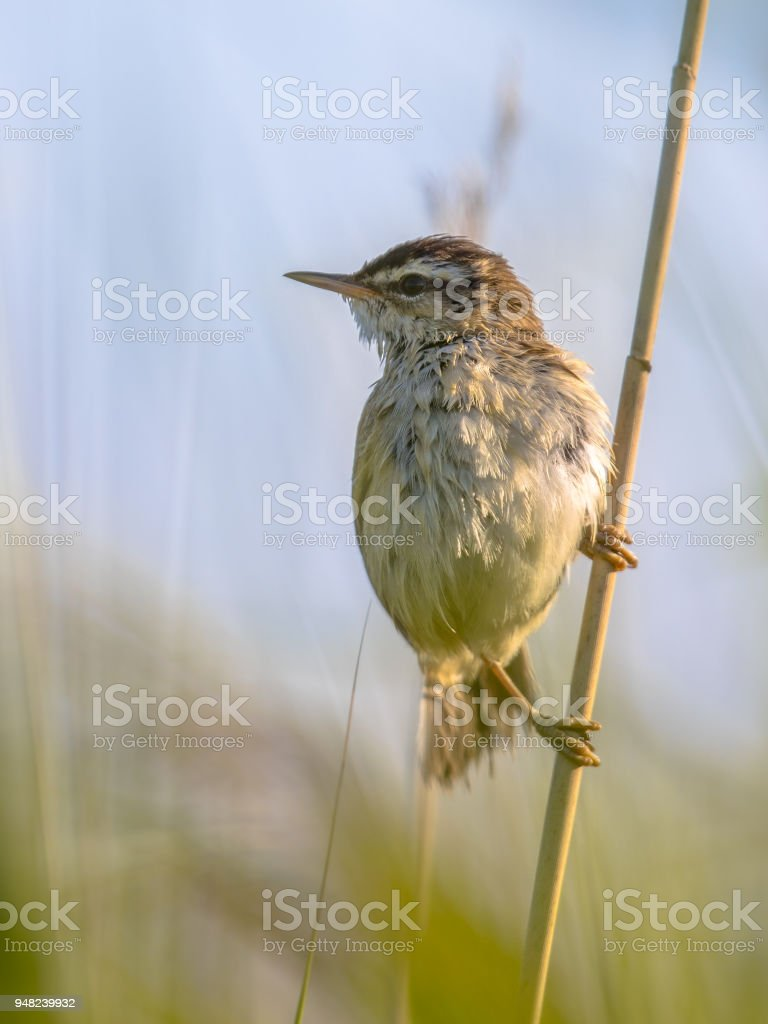 Sedge warbler in reed plant stock photo