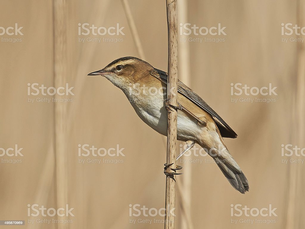 Sedge Warbler (Acrocephalus schoenobaenus) stock photo