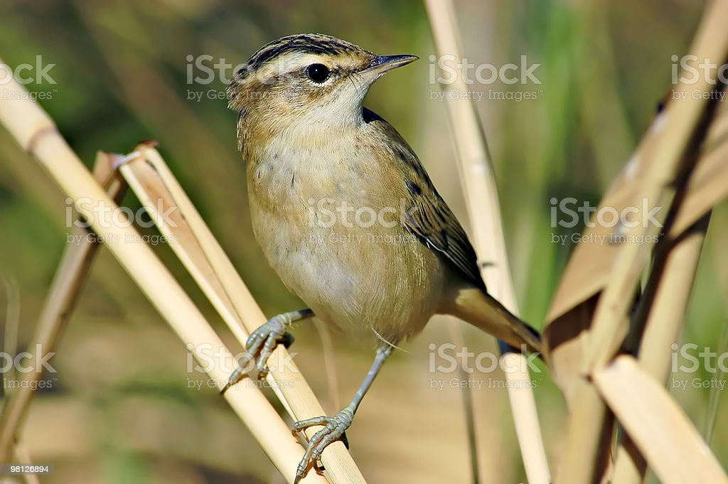 Sedge Warbler (Acrocephalus schoenobaenus) royalty-free stock photo