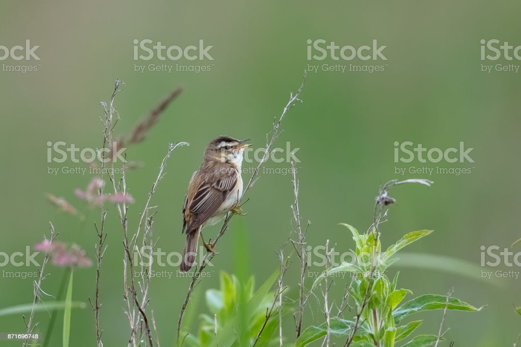 Sedge Warbler singing from perch stock photo