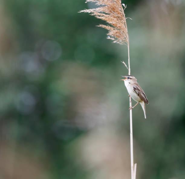 Zegge zanger (Acrocephalus schoenobaenus) zang foto