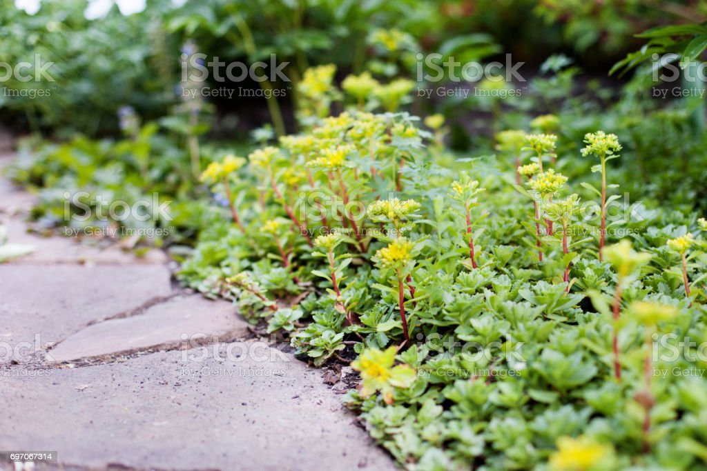 Sedum acre plant in bloom with yellow flowers on garden ground in sedum acre plant stonecrop or wall pepper in bloom with yellow flowers on mightylinksfo Images
