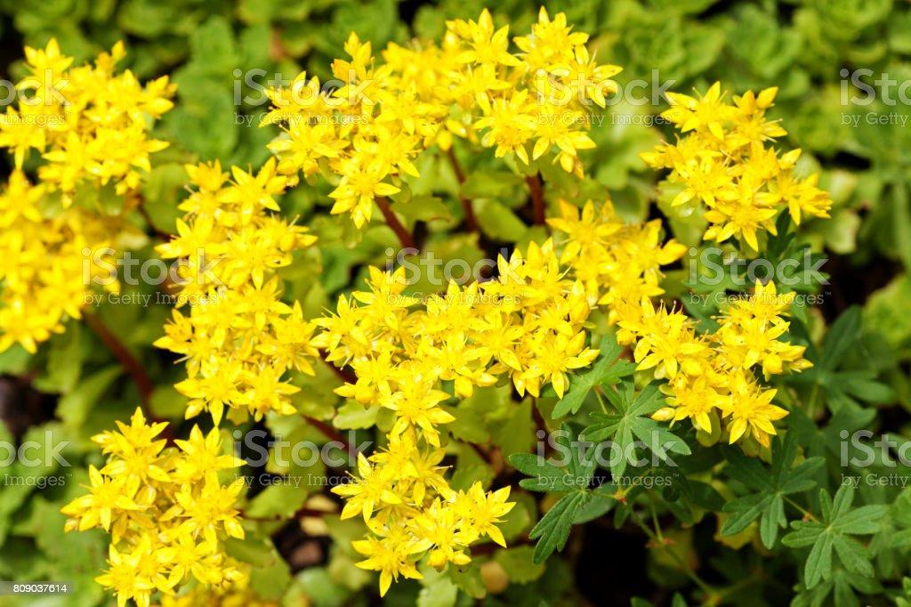 Sedum acre planta (stonecrop ou pimenta-de-parede) em plena floração com flores amarelas no chão do jardim. Foco seletivo. Vista superior. - foto de acervo