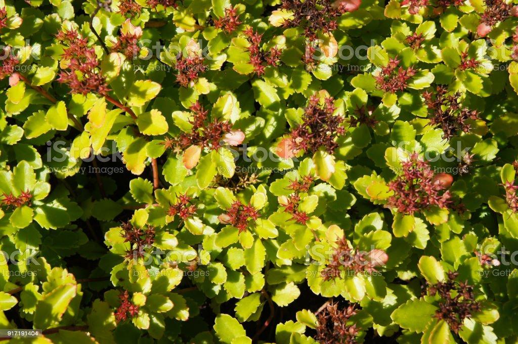 Planta de Sedum aizoon verde - foto de acervo