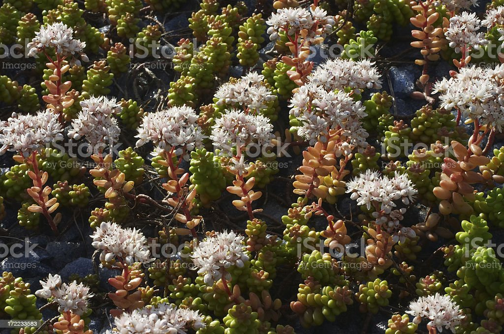 English stonecrop Sedum anglicum stock photo
