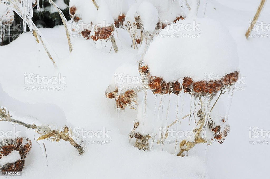 Sedum Flowerhead Covered with Ice and Snow stock photo