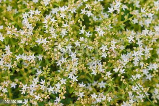 Sedum greggii Flowering succulents, Succulents, Planting. Macro of the succulent. Small white flowers
