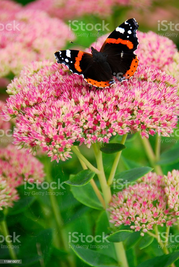 Sedum Herbstfreude stock photo