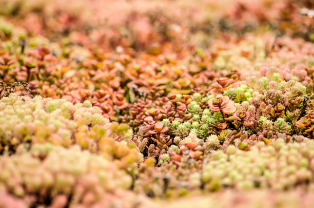 Sedum landscape on an eco-roof Close-up of a section of a vegetated roof with red, orange, green and pink sedum plants creating a hilly miniature landscape crassulaceae stock pictures, royalty-free photos & images