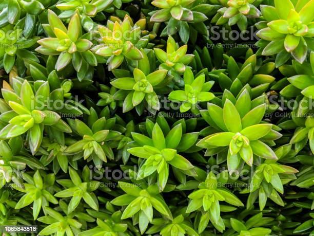 Photo of Sedum Nussbaumerianum (Coppertone Stonecrop)