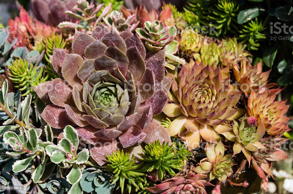 Sedum plants used for sustainable plantings stock photo