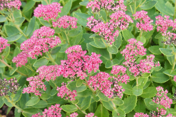Sedum spectabile brilliant many red plant with green background Sedum spectabile brilliant many red plant with green background sedum plant stock pictures, royalty-free photos & images