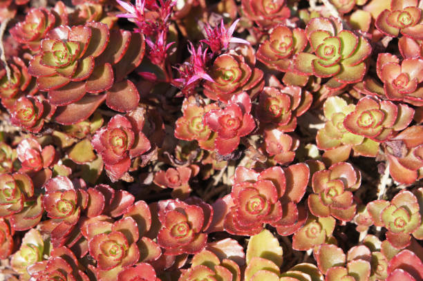 Sedum spurium dragons blood red and green plant Sedum spurium dragons blood red and green plant sedum plant stock pictures, royalty-free photos & images
