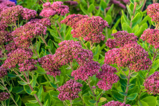 Sedum with pink flowers. Limited depth of field. Sedum with pink flowers. Limited depth of field. sedum plant stock pictures, royalty-free photos & images
