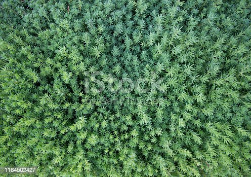 Top view of green sedum as background