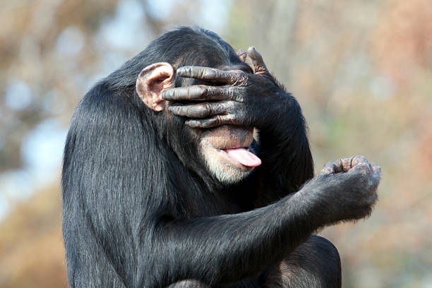 see no evil - ape stock pictures, royalty-free photos & images