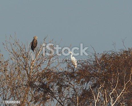 Adler und Reiher neben einander auf den Ästen